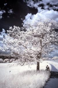 Eine typische, fertig bearbeitete Infrarot-Aufnahme: Starke Kontraste, weiße Blätter und Gräser.