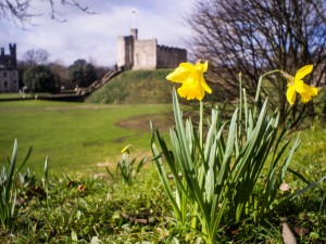 Cardiff Castle and a daffodil
